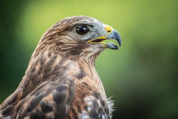 Red Shouldered-Hawk Fototapete
