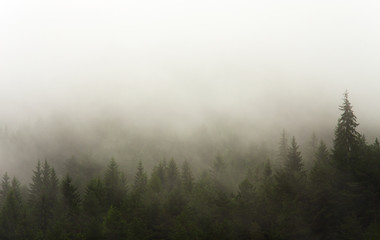 forest in the rain and fog