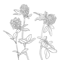 vector drawing clover flowers