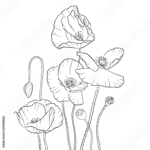 Vector drawing poppy flowers stock image and royalty free vector vector drawing poppy flowers mightylinksfo