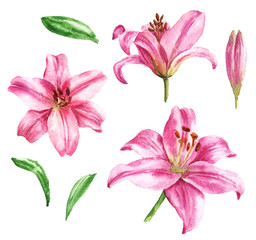 Hand drawn watercolor lilly flowers with green leaves isolated on white background. Beautiful drawing, botanical illustration.