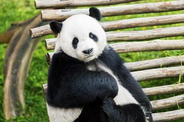 Adorable giant panda facing camera in nature