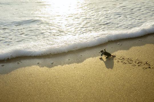 Little turtles crawling toward the sea