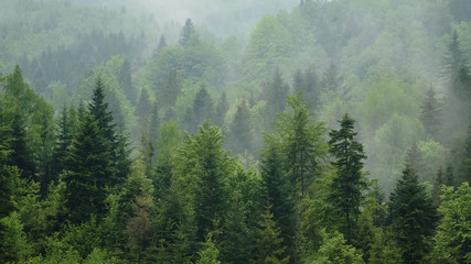 Telephoto shot of misty coniferous forest at Carpathian mountains, Ukraine. Overcast spring day after rain. Natural background. Ecology concept of clear environment. Scenic landscape of wild nature.