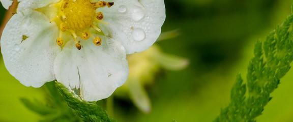 banner for website, White flower and fruit shrubs in the garden