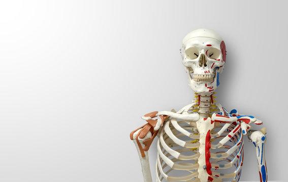closeup human skeleton model