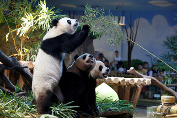 The world's only giant panda triplets celebrate their fourth birthday in Guangzhou