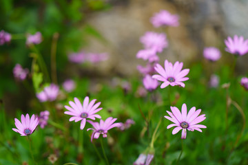 Wild daisies at the meadow. Defocused background image with bokeh