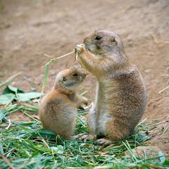 Präriehundmutter und ihr Jungtier