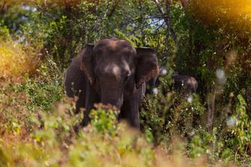 ceylon elephant