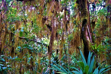 Tillandsia usneoides hanging from trees in rain forest