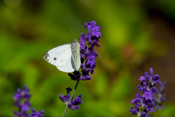 Large white butterfly on violet levander flower