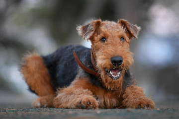 Airedale Terrier dog - puppy 7.5 month old. Wall mural