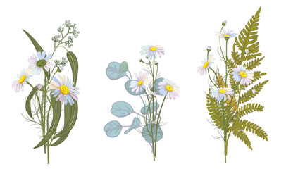 Set of Chamomile (Daisy) bouquets: white flowers, green leaves (fern, eucalyptus seeded, silver dollar). Realistic botanical sketch on white background, hand draw illustration in vintage style, vector