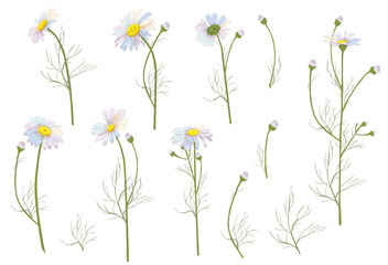 Set of Chamomile (Daisy), white flowers, buds, green leaves, stems. Realistic botanical sketch on white background for design, hand draw illustration in vintage style, vector
