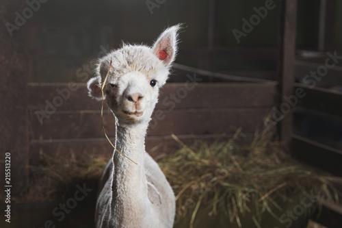 Fototapete White alpaca on the farm