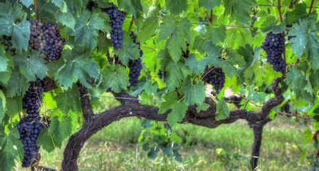 grappolo di uva nera prima della vendemmia 5