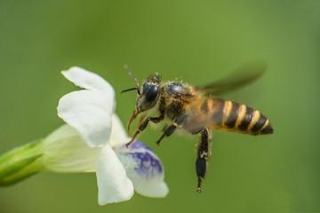 Honeybee On The Flower