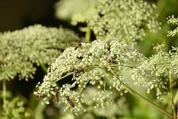 アマニュウの花と蜜蜂