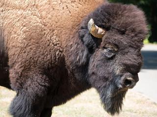 Fototapeta Bison