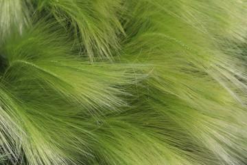 delicate, beautiful, graceful, curves of feather grass