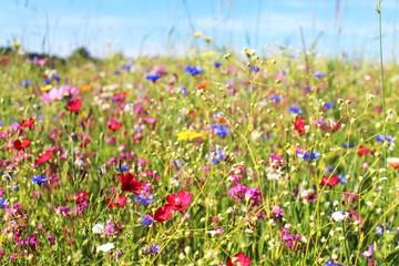 Nahaufnahme: Blumenwiese im Sommer, Allgäu, Bayern