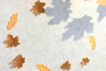 Top view of autumn maple leaves and shadows on white plaster textured background