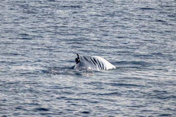 Fin whale damaged in ship collision propeller sign on body