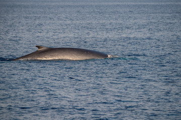 Fin Whale endangered specie rare to see second largest animal in the world
