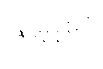 birds different sizes isolated, flock black crow at white background, eagle chase flock of crows