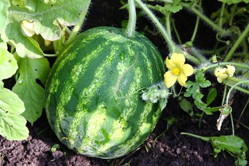 Watermelon in the garden.