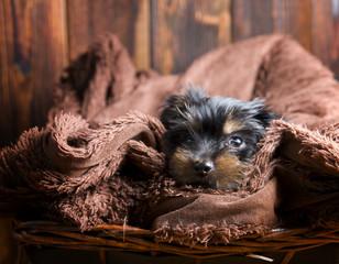 Little Yorkshire terrier puppy. Photo shoot in studio.