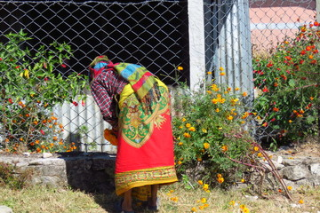 Nepalese woman in colorful traditional dress picking marigold flowers to make a welcoming garland, in the small mountain village of Num, East region of Nepal