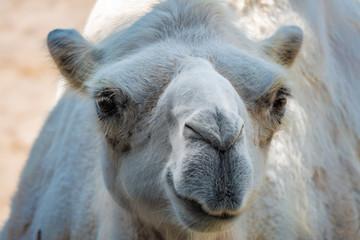 Close up  of a curious Bactrian Camel