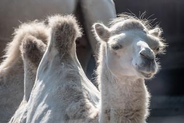 Close up  of a Bactrian Camel