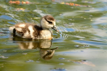 Close up of an Egyptian goose gosling (alopochen aegyptiaca) swimming in the water