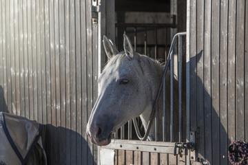 Portrait of a beautiful white horse standing in a stable stables on a farm.