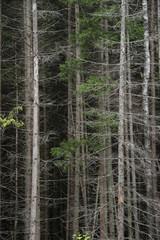 Dry coniferous forest