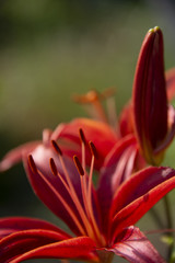 FLOWERS - red lilies