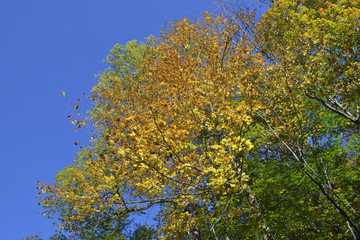 Fall colors on elm tree in the forest