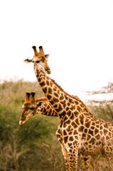 Two-Headed Giraffe