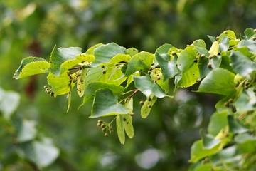 Lime flower and leaf, preparation of antioxidant tea.