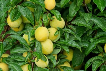 many ripe yellow plums on a branch with green leaves