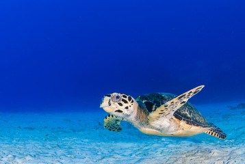 A scuba diver has found a hawksbill turtle near a reef in the Caribbean Sea. This photo was taken in Grand Cayman