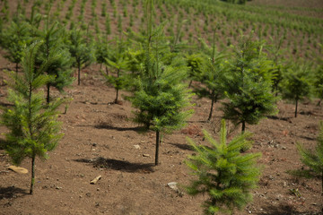 Close Up and Distant View of Rows of Sapling Douglas Fir Christmas Tree Farm, Spring, Rich Soil, No Sky - Willamette Valley, Oregon
