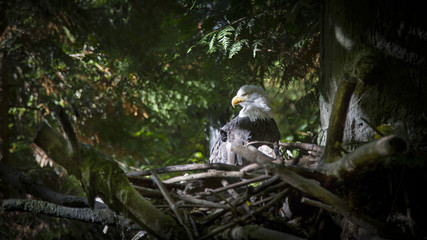 Isolated, shaded view of Bald Eagle, nestled in a treetop, no sky