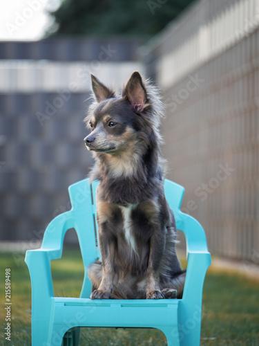 Hund Chihuahua Sitzt Auf Garten Stuhl Im Sommer Mit Zaun Im