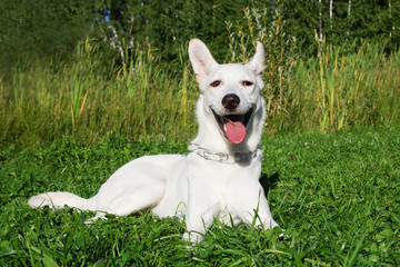 Funny smiling white dog on a grass in a park.