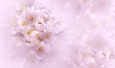 Soft  light pink floral background. Flowers of a cherry on a  pink-white halftone background. Close-up. Greeting card. Nature.