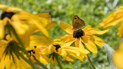 Butterfly jar on yellow flowers.